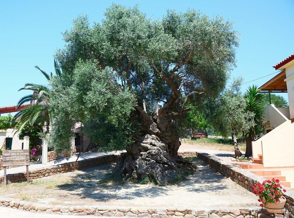 De olijfboom van Vouves, Kreta!